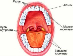 Коренные зубы и их основные функции